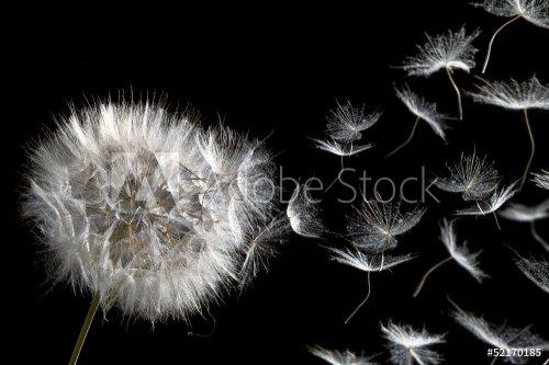 dandelion blowing seeds