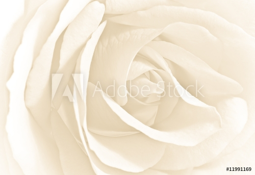 Soft white rose in close view