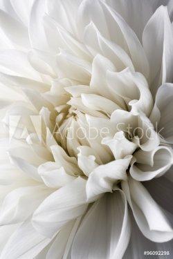 white dahlia and light